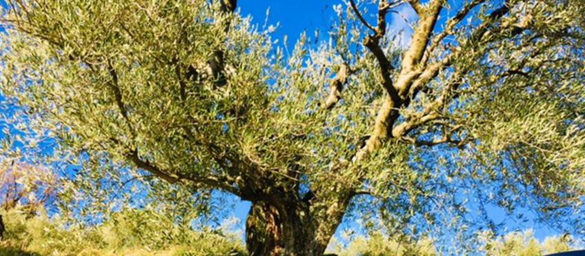 Olivo secolare a Brisighella