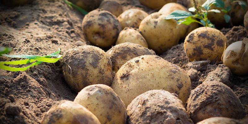 La Patata di Bologna D.O.P.