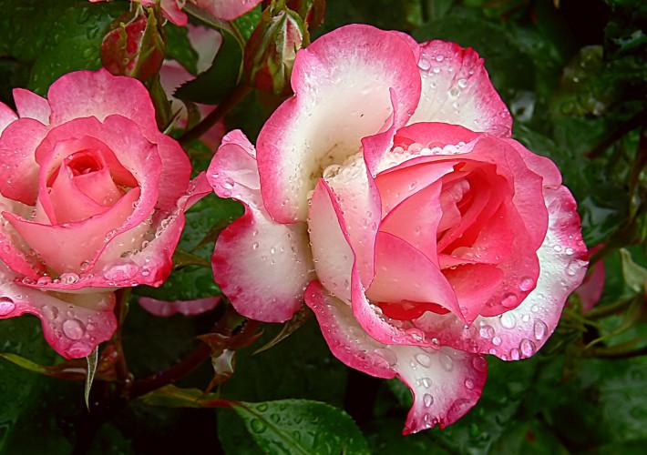 In cerca della rosa