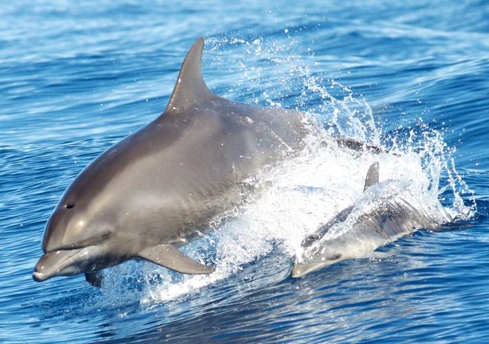 Il delfino di Plinio