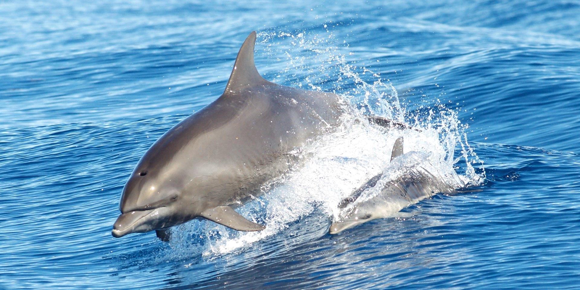 Delfini in libertà - foto Brandon Trentler - CC BY 2.0