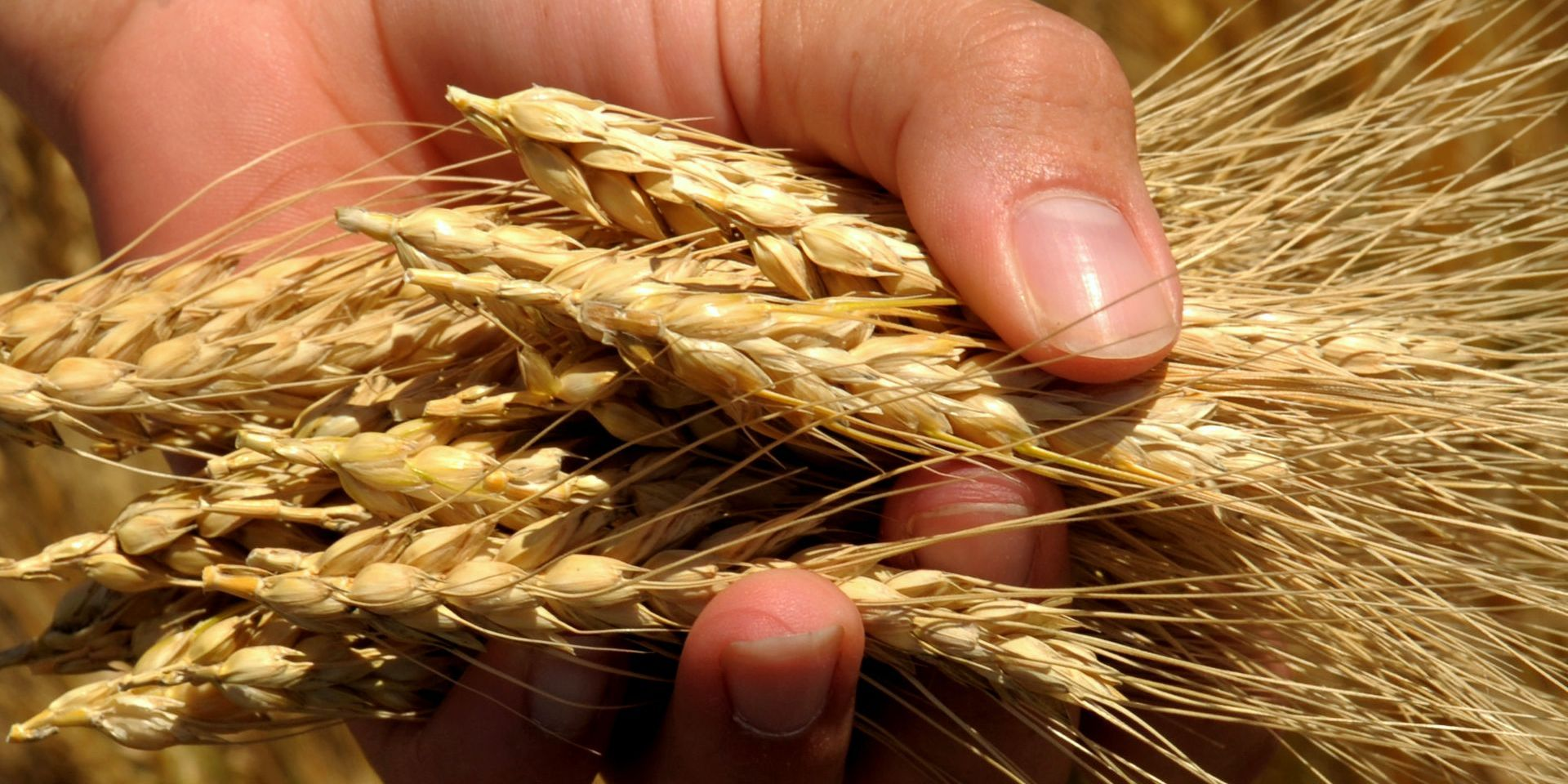 Wheat - foto KSRE (K-State Research and Extension) - CC BY 2.0