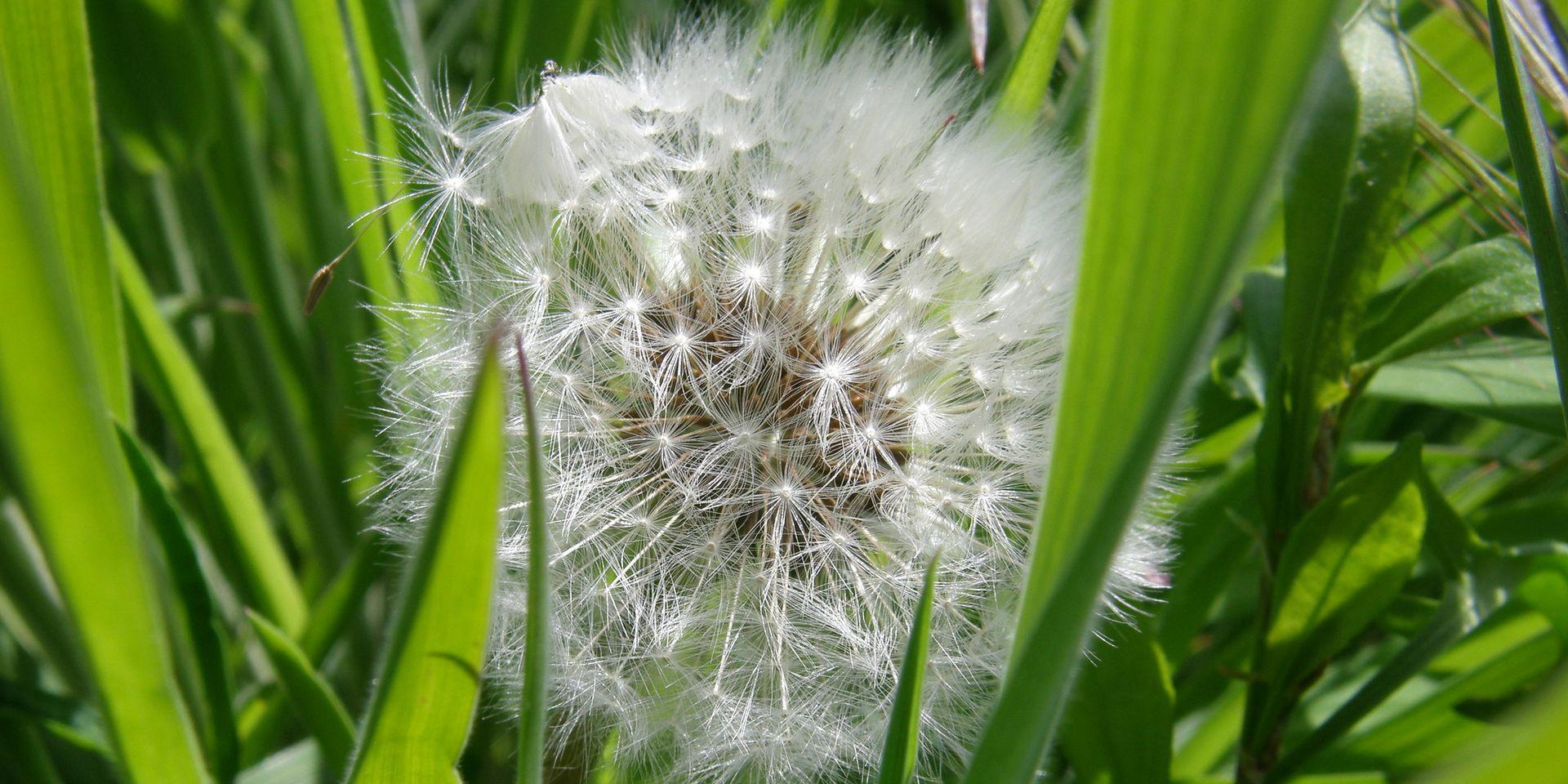 Dandelion - foto di Carol Munro (CC BY NC 2.0)